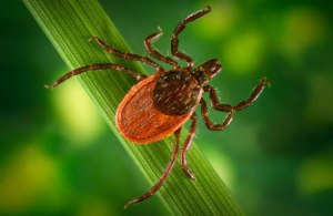 Western Blacklegged Tick