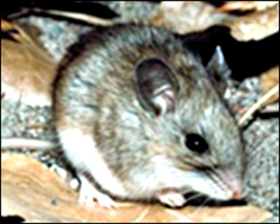 Deer mouse. Courtesy of CDC.