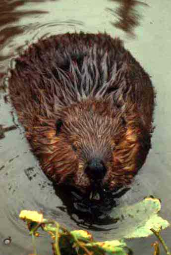 Beaver. Courtesy National Park Service.
