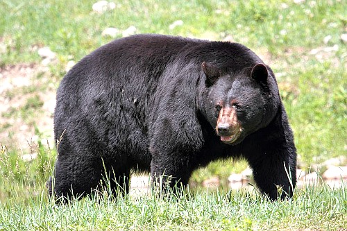 Black bear. Photo by Cephas. Wikimedia Commons.