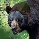 blackbearjpg