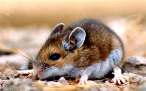 Deer mouse. NPS.