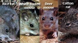 rodents.44k498