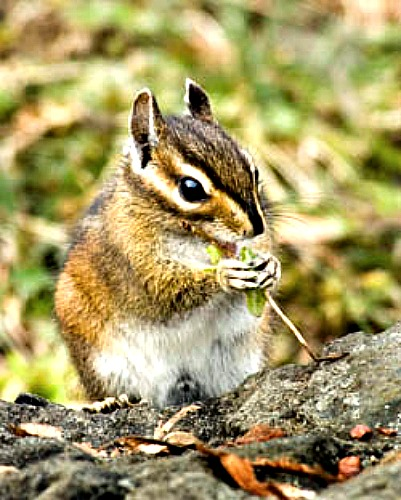 Chipmunks carry ticks infected with bacteria that causes Relapsing Fever. Image courtesy of U.S. National Park Service.