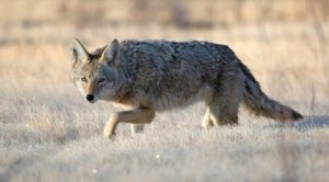 coyote_generic_042413