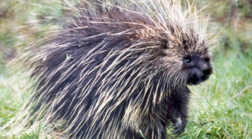 Porcupine. Courtesy U.S Fish & Wildlife.