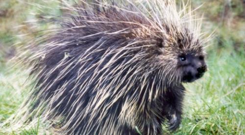 Porcupine. Courtesy U.S Fish & Wildlife.