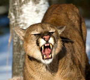 Powerful defensive mountain lion guards its kill in the winter snow.