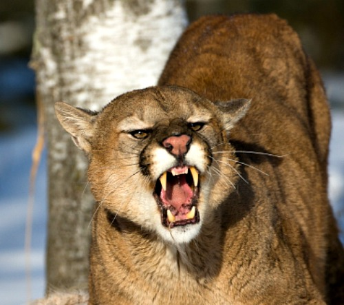 Cougar. Bing Free Use License.