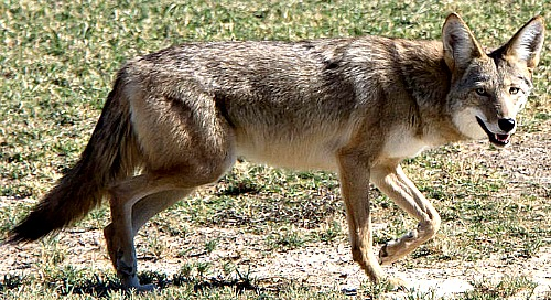 Coyote. Photo by Dawn Beattie of Morrow Bay, CA. Wikimedia Commons.