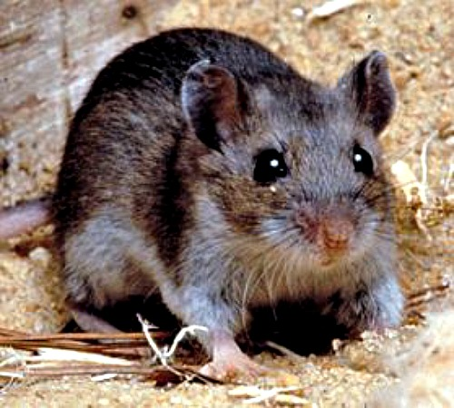 Deer mouse. Courtesy Center for Disease Control.