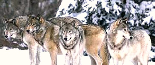 Wolf pack. Courtesy U.S. Fish & Wildlife.