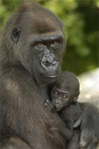 Cameroon gorillas
