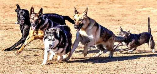 Feral dog pack. Bing free use license.
