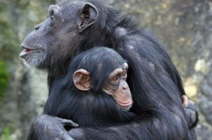 Cameroon chimpanzees