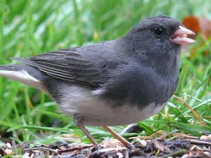Dark-eyed Junco. PD