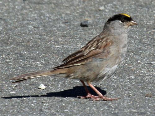 Golden-crowned sparrow. Photo by Dick Daniels. Wikimedia-Commons.