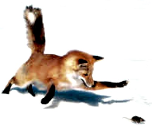 Red fox chasing mouse. Courtesy State of Connecticut.