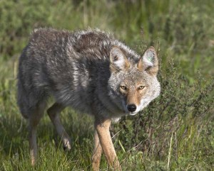 Coyote%20stalking%20prey%20-%20note%20radio%20collar%20and%20ear%20tags%20for%20research%20project