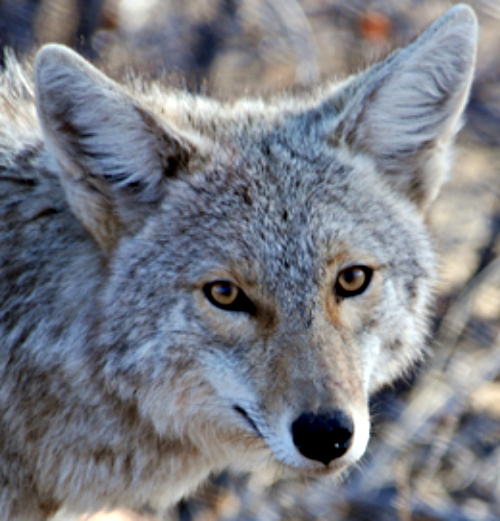 Coyote. Courtesy US National Park Service.