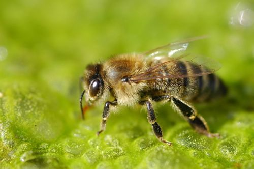 Honey bee. Photo by Vera Buhl. Wikimedia Commons.
