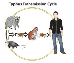 typhus-transmission-cycle