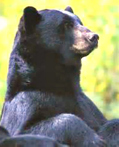 Black bear. Courtesy Ohio Dept of Natural Resources.