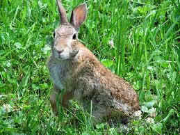 rabbit.tularemia