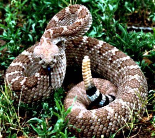 Rattlesnake. Courtesy U.S. Fish & Wildlife Service
