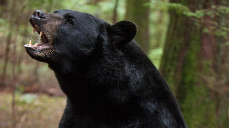 BLACK BEAR attacks marathon runner in NEW MEXICO ~ COLORADO