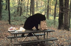 black_bear_picnic_table_285NPS
