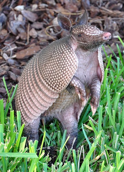 Armadillo. Photo by Vlad Lazarenko. Wikimedia Commons.