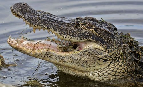 Alligator eating a crab. Photo by Gareth Rasberry. WikimediaCommons.