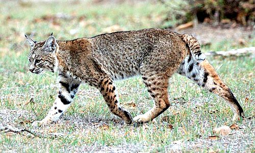 Bobcat. Photo by Don DeBold. Wikimidia Commons.