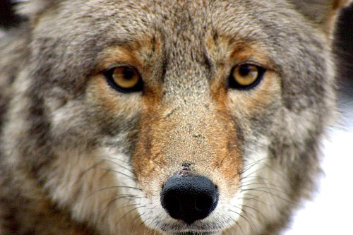 Coyote. Photo by Christopher Bruno. Wikimedia Commons.