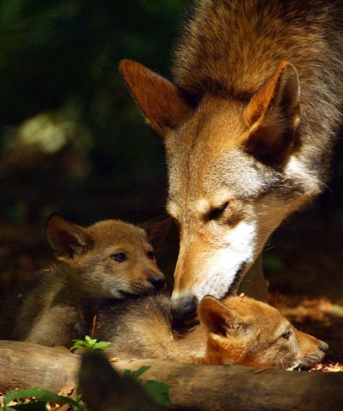Red Wolf and pups. Courtesy US Fish & Wildlife Service.