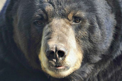 Black Bear. Wiki.org