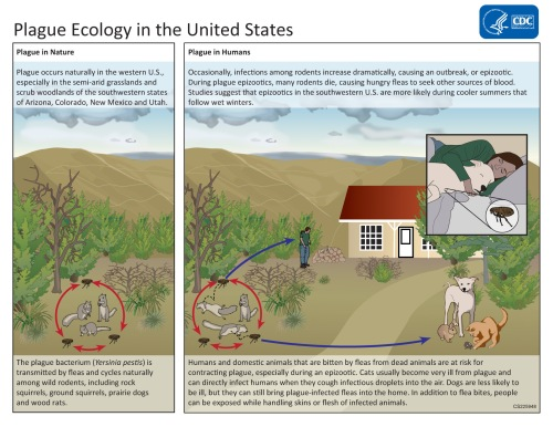 Plague ecology, epizootic cycles, enzootic cycles