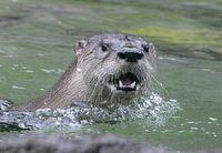 river.otter.XT4B8248