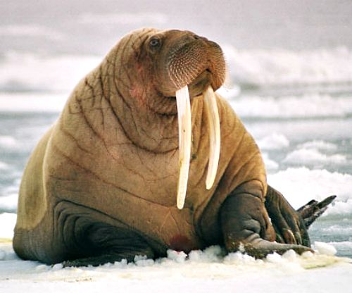 Walrus. Courtesy of US Geological Survey.