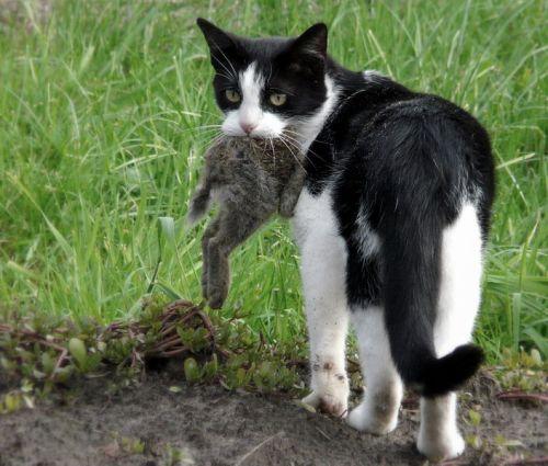 Cat with rabbit. Photo by Eddy Van 3000. Wikimedia Commons.