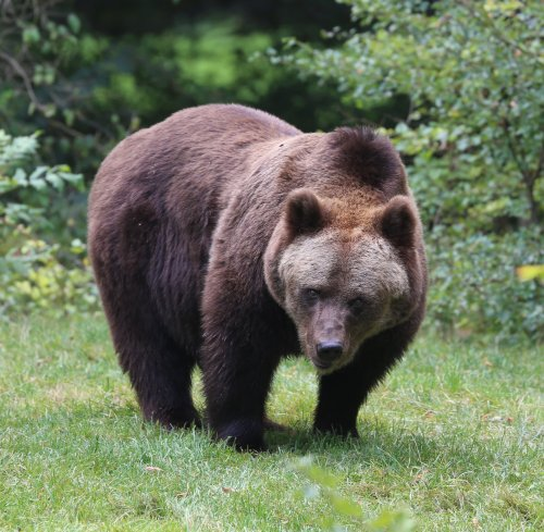 Brown Bear. Photo by Ursos Arctos_600. Wikimedia Commons.