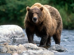 grizzly_alaska_fr