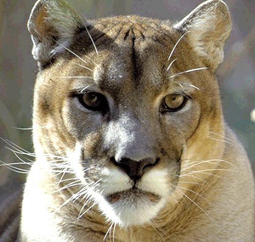 Mountain Lion. Courtesy U.S. Dept of Agriculture
