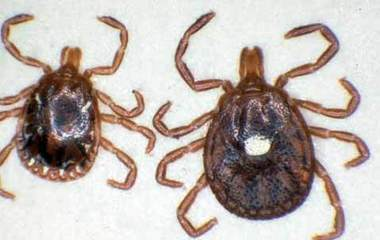 Lonestartick.usda.A female Lone Star tick is on the right, a male is on the left.