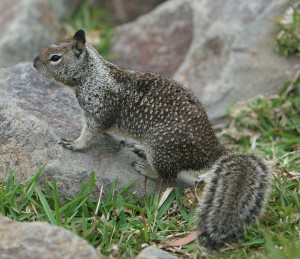 California_Ground_Squirrel_Dana_Point_Harbor_2007_2