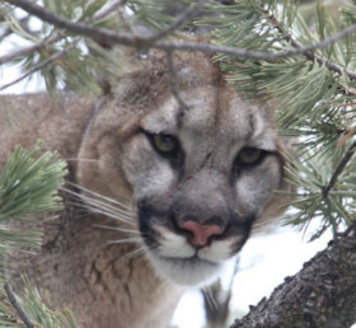 Mountain-Lion-2-SW