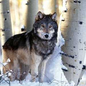 5-interesting-facts-about-the-grey-wolf1