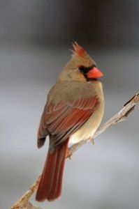 Cardinal.female.atoztheusa.com.blog