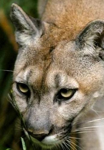 cougar_1EPA.jpg